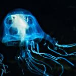 Найдено противоядие от ядовитых австралийских медуз