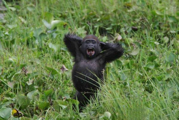 Раскрыты причины продолжительности жизни горилл