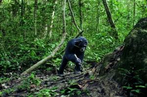 Шимпанзе получают человеческое удовольствие от решения головоломок.
