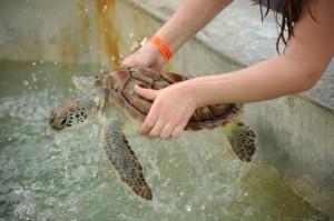Выращенные в неволе морские черепахи могут быть опасны для здоровья человека