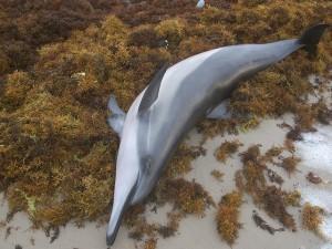 Новый вирус обнаружен в мертвых дельфинах