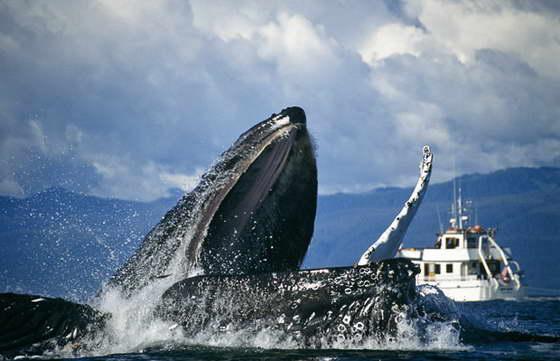 В северной части Тихого океана выявлено пять популяций горбатых китов