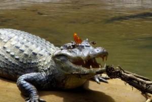 Ученые: насекомые утоляют жажду слезами крокодилов