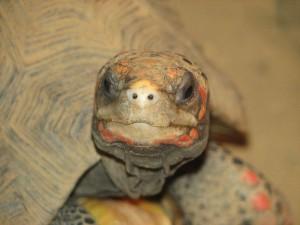Технически подкованные черепахи научились использовать сенсорные экраны