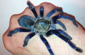 Яркие цвета голубого тарантула происходят из наноструктуры, которая вызывает отраженные световые волны, чтобы перекрывать и производить чрезвычайно динамические цветовые эффекты.