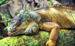 Игуаны – надежда для растений с Галапагосских островов