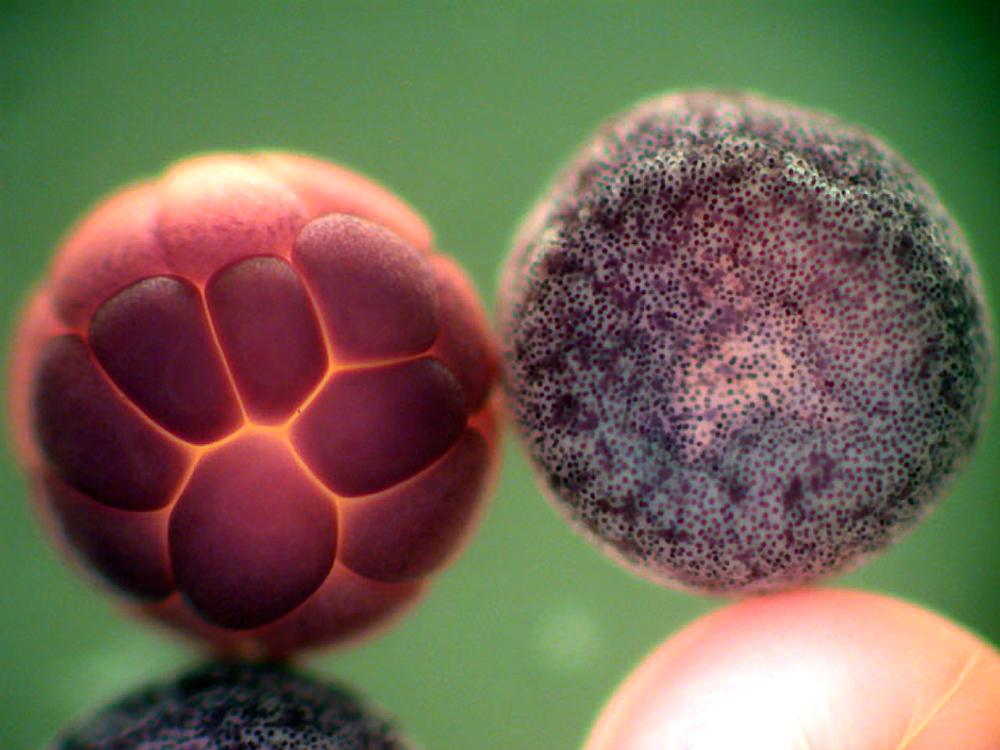 Опухолевые клетки у эмбрионов шпорцевой лягушки помечали чувствительными к электричеству красителями