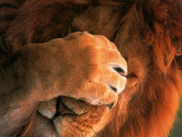 Для сохранения львов зоологи предлагают огораживать территории