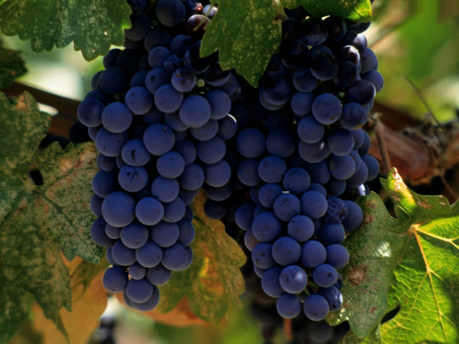 Виноград играет важную роль в защите от метаболического синдрома