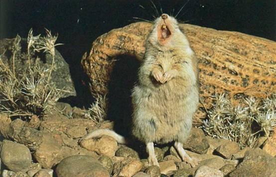 Ученые разгадывают тайну кузнечиковых хомячков