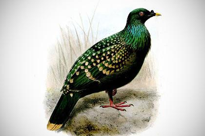 Пятнистые зеленые голуби оказались родственниками знаменитых Додо