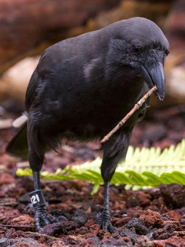 Гавайские вороны используют инструменты