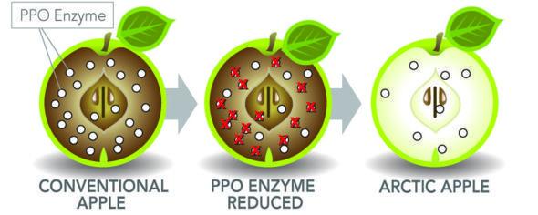 Канадская биотехнологическая компания изменила яблоки, чтобы противостоять почернению в течение более длительного времени. Они называют их Арктические яблоки.