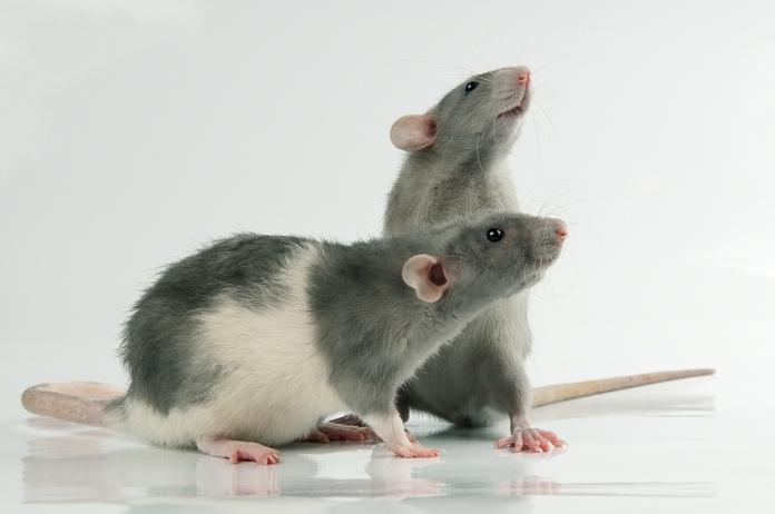 От щекотки у крыс поднимается настроение и повышается игривость