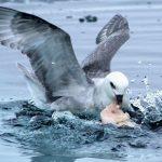 Почему морские птицы едят пластиковые отходы?