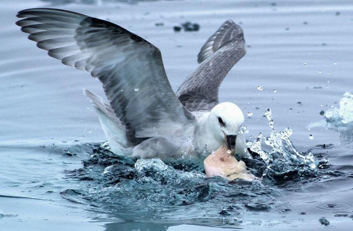 Почему морские птицы едят пластиковые отходы? Подскажет химия