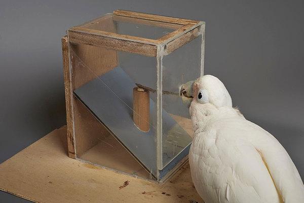 Какаду по имени Фигаро может сделать инструмент из разных материалов