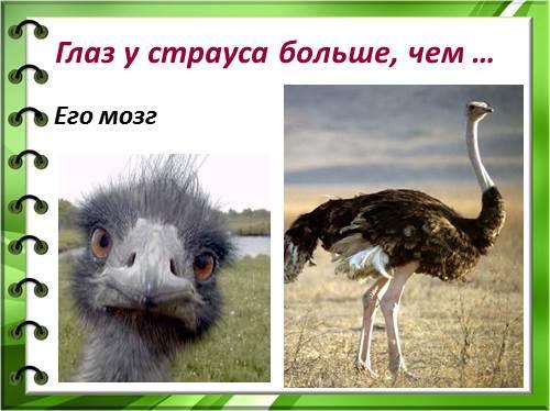 страус – птица не знакомая с радостью полета…